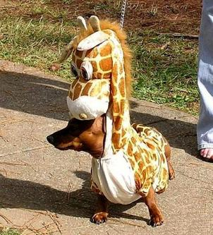 Small dog in giraffe's clothing